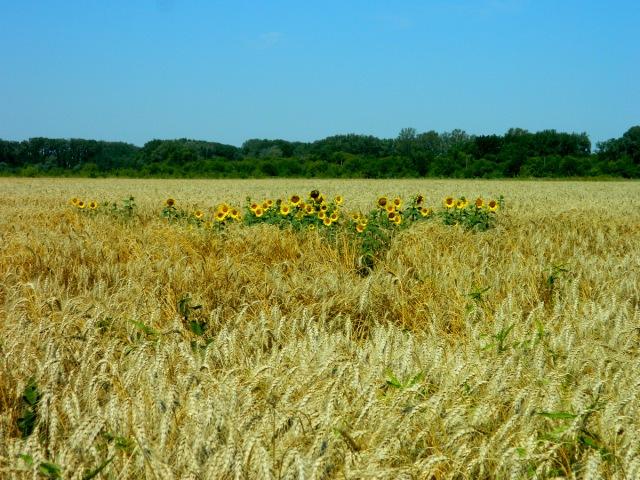 Sonnenblumen Getreide