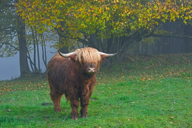 Highland cattle.jpeg