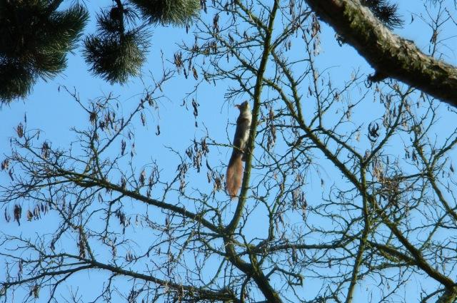 Homolka squirrel.JPG