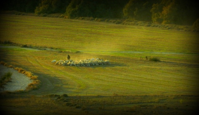 Schafe2