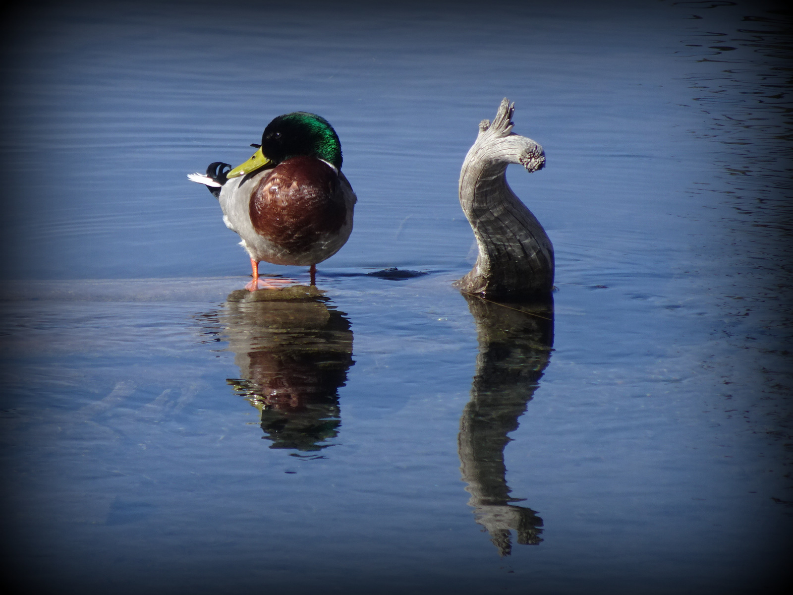 Bow River duck