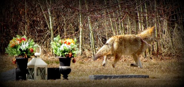 Kojote2
