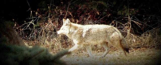 Kojote3