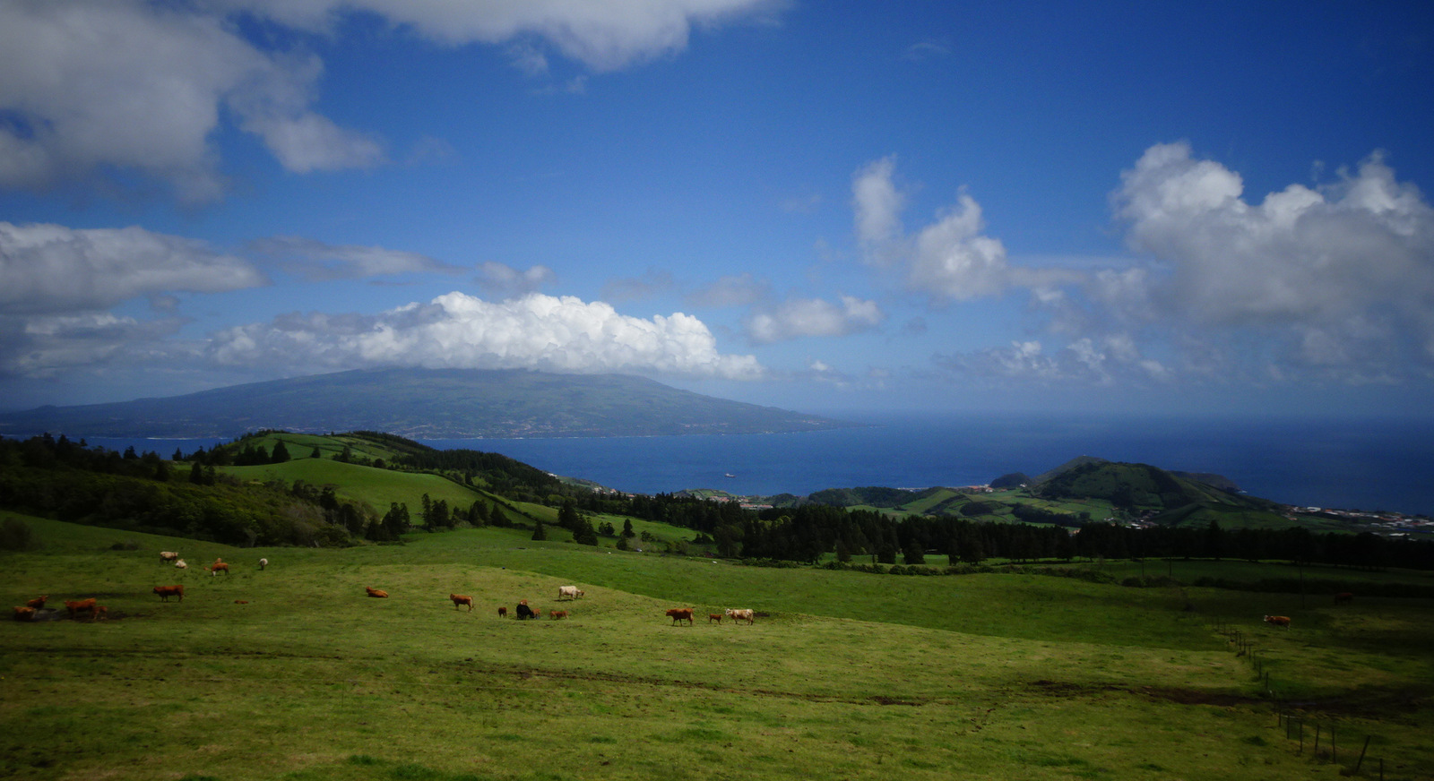 happy cows on Faial